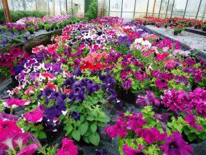 gaertnerei-arndt-jungpflanzen