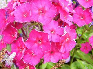gaertnerei-arndt-phlox-violett-staude